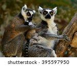 ring tailed lemur  | Shutterstock . vector #395597950