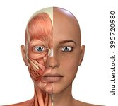 female face muscles anatomy | Shutterstock . vector #395720980