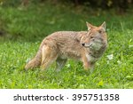 Small photo of a lone coyote in tall grass