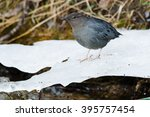Small photo of American Dipper standing on a shelf of ice.