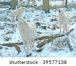 Three white wolves howling - stock photo