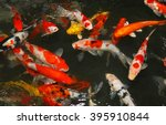 Multicoloured Pond Fish