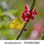 cloudless sulfur butterfly... | Shutterstock . vector #396084580