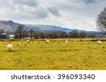 Group Of Sheep On A Hill In...