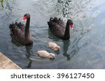 Swans With Nestlings 4