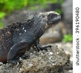 Small photo of A portrait of a marine iguana (Amblyrhynchus Cristatus) in the Galapagos Islands, Ecuador.
