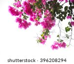 Pink Bougainvillea Flower On...
