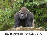 Western Gorilla  Gorilla...
