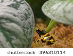 Small photo of Yellow-banded poison dart frog (Dendrobates leucomelas), also known as yellow-headed poison dart frog or bumblebee poison frog, is a poisonous frog from the Dendrobates genus of Dendrobatidae family.