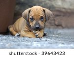 Stock photo young rhodesian ridgeback puppy playing in the garden 39643423