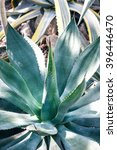 Small photo of Sharp pointed agave plant leaves. Dragon tree agave(Agave attenuata)