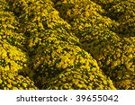 yellow mums in rows | Shutterstock . vector #39655042