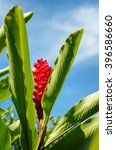 Small photo of Tropical red ginger flower in the gardena gainst blue sky . Alpinia purpurata