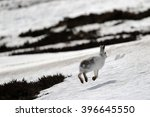 Stock photo the mountain hare lepus timidus also known as blue hare tundra hare variable hare white hare 396645550