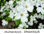 Closeup Of White Dogwood...