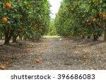 Ripe Oranges On The Trees In A...