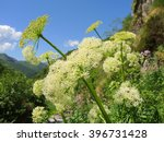 Small photo of Allium victorialis. Orobie Alps