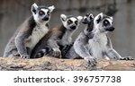 ring tailed lemur  | Shutterstock . vector #396757738