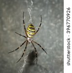 The Wasp Spider  Argiope...