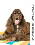 American cocker spaniel portrait - stock photo