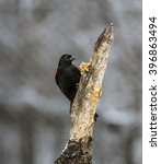 Small photo of red-winged blackbird,Agelaius phoeniceus is a passerine bird of the family Icteridae