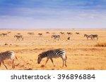 big herd of african zebras... | Shutterstock . vector #396896884
