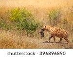 spotted hyena female picks up... | Shutterstock . vector #396896890