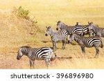 zebra's grazing on grassland in ... | Shutterstock . vector #396896980