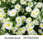 Bunch Of White Aster Flowers ...