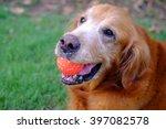 Golden Retriever Play Ball