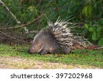the porcupine seek a food on... | Shutterstock . vector #397202968