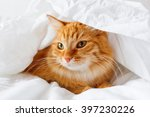 Stock photo ginger cat lies on bed the fluffy pet comfortably hid under a blanket to sleep or to play cute 397230226
