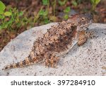 Regal Horned Lizard ...