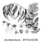 details eucalyptus globulus ... | Shutterstock . vector #397314238