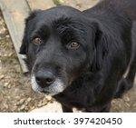 abandoned senior dog  sad old... | Shutterstock . vector #397420450