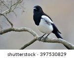 beautiful eurasian magpie ...   Shutterstock . vector #397530829
