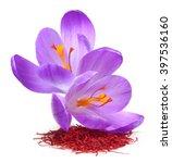 flower crocus and dried saffron ... | Shutterstock . vector #397536160
