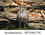 Small photo of Crested Goshawk (Accipiter trivirgatus)