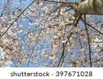 cherry blossom in spring on...   Shutterstock . vector #397671028