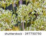 Thapsia Villosa. Plant Seeds O...