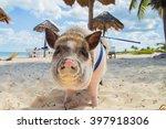 Pig On The Beach. Dirty Beach....