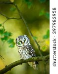 Small photo of Small bird Boreal owl, Aegolius funereus, sitting on branch with clear green forest background, animal in the nature habitat, Russia