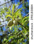 Small photo of Almond tree with new fruits