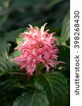 Small photo of Justicia carnea, Flamingo flower, Acanthaceae