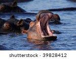 Hippopotamus Yawning  Chobe...