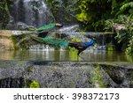 Indian Blue Peafowl In Kuala...
