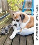 Large Boxer Mix Dog Meeting...