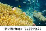Pink Skunk Clownfishes With Se...