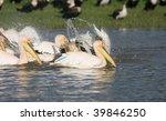 great white pelicans bathing in ... | Shutterstock . vector #39846250