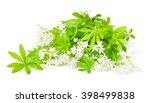 Sweet Woodruff  Isolated